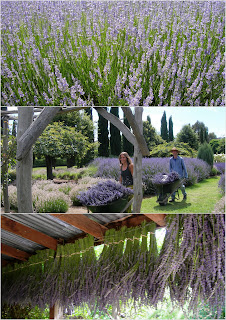 lavandula