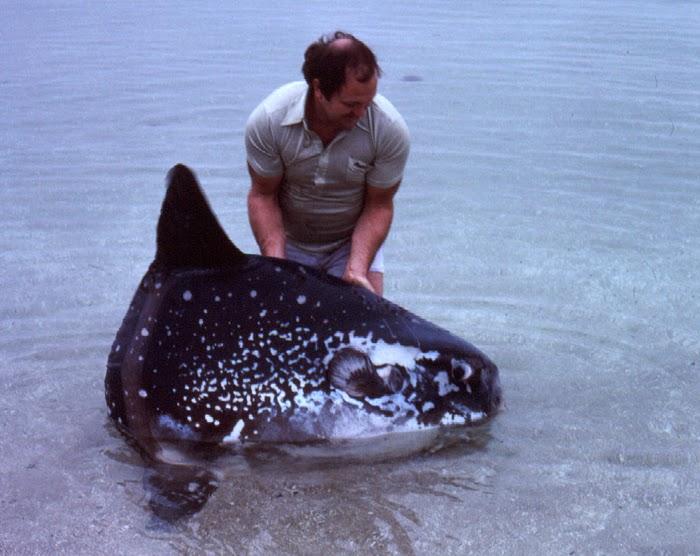 Mola ramsayi