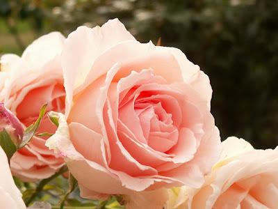 light pink rose blossoms photo by Jennifer Kistler 2012