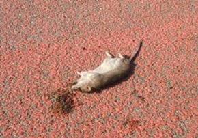 CI STIAMO OCCUPANDO DI RATTI IN CENTRO ABITATO