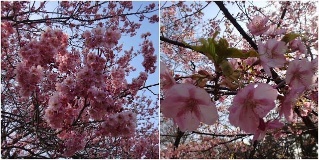 Pink Cherry Blossom at Imperial Palace East Park in Tokyo, Japan