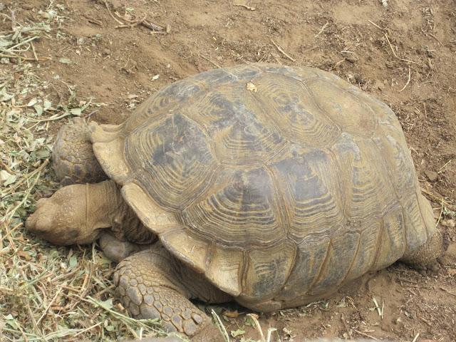Tortuga gigante en la Reserva de Bandia, Senegal