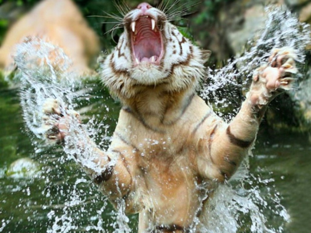 the roaring tigers and the asian Economic booms: elizabethan era, four asian tigers, celtic tiger, roaring twenties, tiger cub economies, gilded age, miracle on the han river: amazones: source: wikipedia: libros en idiomas extranjeros.