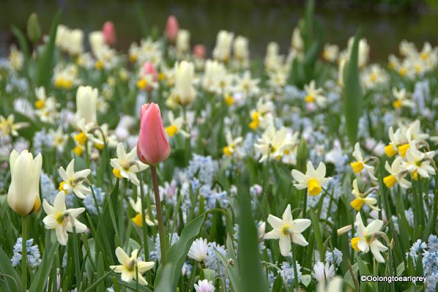 Tulip, Keukenhof, The Netherlands