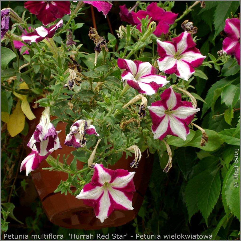 Petunia multiflora  'Hurrah Red Star' Growth Habit of flowering plant - Petunia wielokwiatowa   pokrój kwitnącej rośliny