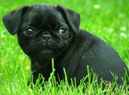 Breeds Dog: Breeds Pug Dog