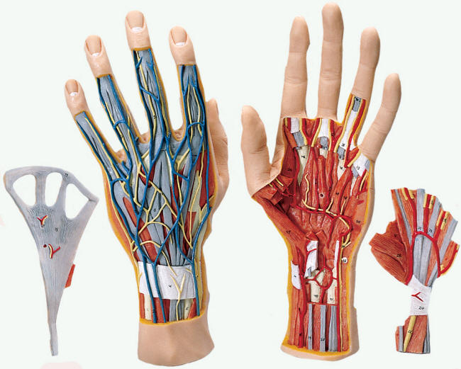 Human Anatomy Hand 032012 U00bb Vector Clip Art