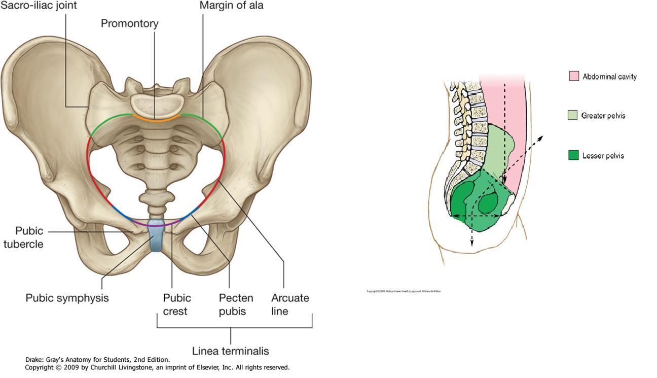 Anatomía UNAM: PELVIS
