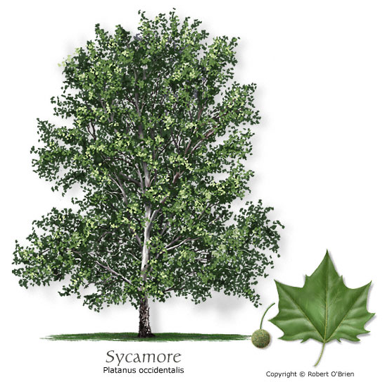 Sierra Madre Tattler >> The Sierra Madre Tattler!: Arcadia Passes An Ordinance Protecting Sycamore Trees, So Naturally ...