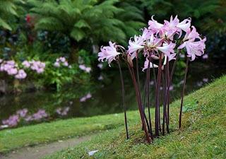 Jardineria, Catalogo de Plantas: Amaryllis belladona