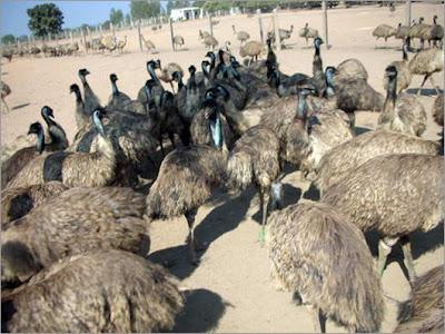 [Image: EMU-Bird.jpg]