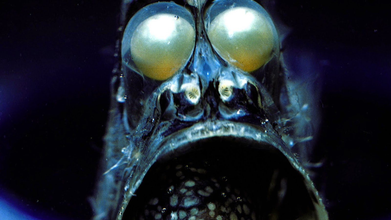 Deep Sea Hatchetfish Frontal Photo