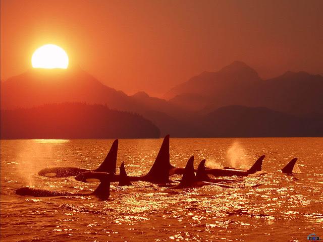 killer whale in sunset