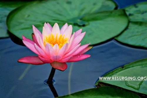 The Lotus is India's national flower
