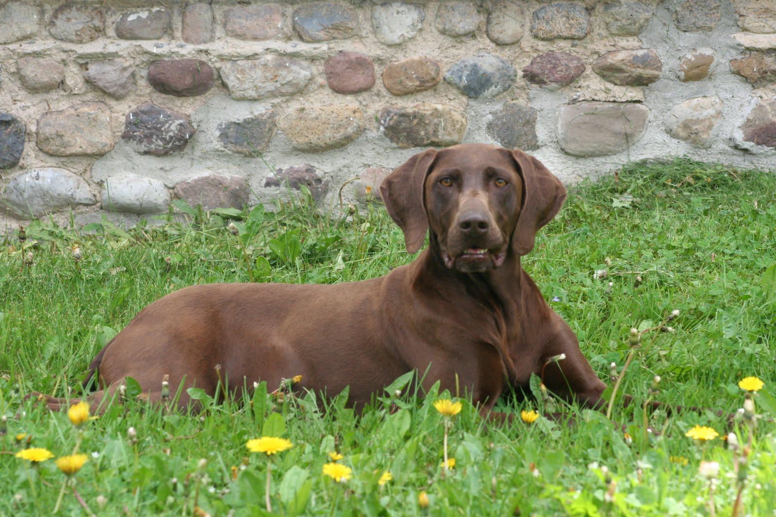 German Shorthair Breeders Florida | Dog Breeds Picture