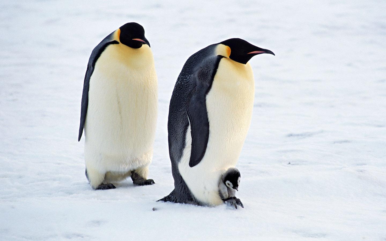 Penguin   The Biggest Animals Kingdom