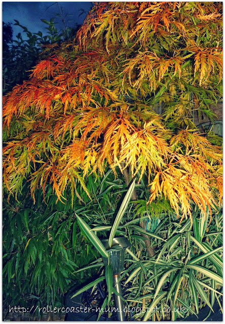 nightime autumn colour on Japanese Acer