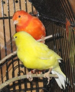 How to Breed or Cultivation Canary