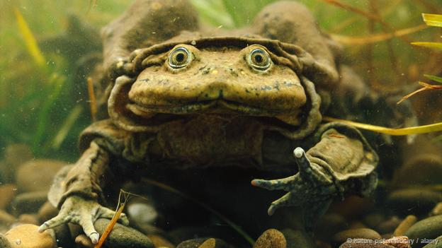 Giant Titicaca Lake frog