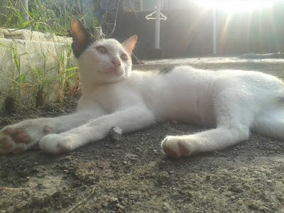 foto kucing kampung lucu 05