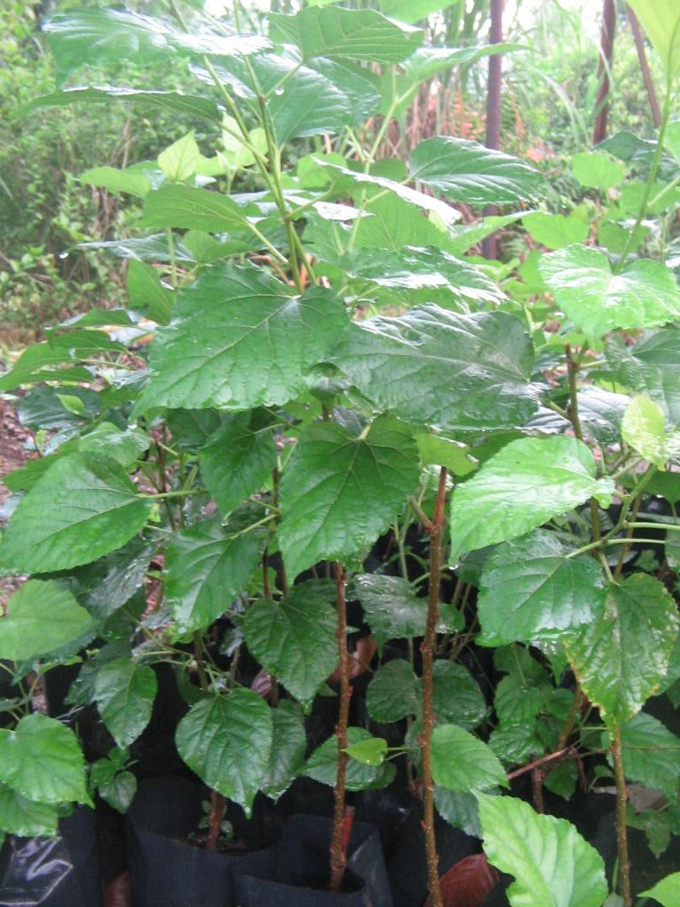 Benih pokok mulberry/malberi untuk dijual di sg buloh. Terdiri dari ...