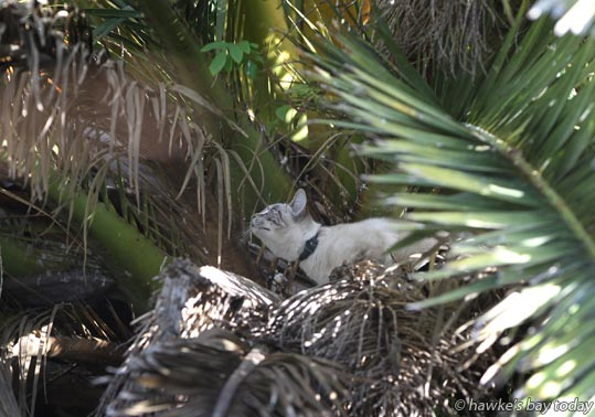 Nga Kitai, vegetation foreman, Unison Power, used an EWP (elevated work platform) and a plate of food to rescue Boris, a cat owned by Val Healing and Tim Healing, from a palm tree in a neighbouring property in St Aubyn St West, Hastings, after it had been missing for 5 days photograph