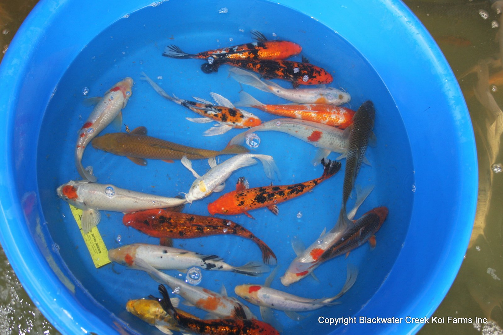 The blackwater blog cheap koi for sale for Bulk koi fish for sale