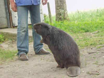 Mazury, żeglowanie, jezioro Śniardwy, Popielno, stacja PAN w Popielnie, bóbr, hodowla bobrów