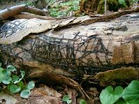 Armillaria mellea rhizomorphs