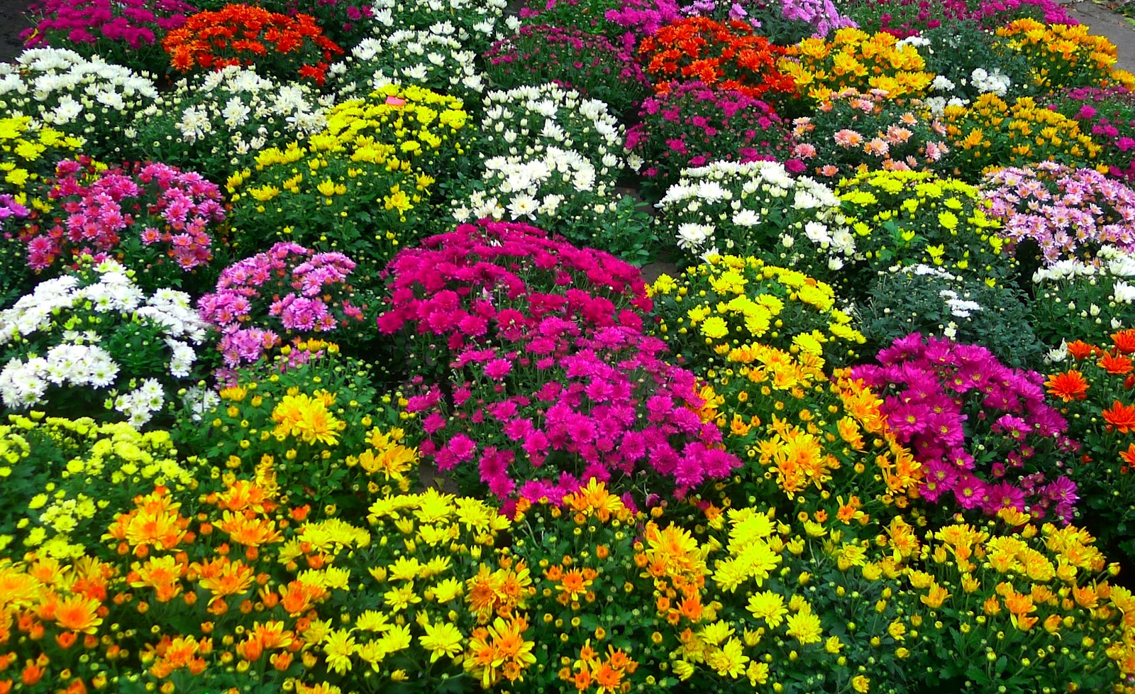 Fall Flower Pictures Beautiful Flowers