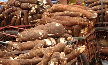 How to produce cassava