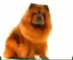 Foto anjing chow chow