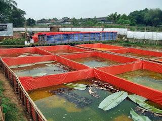 Budidaya lele di kolam terpal