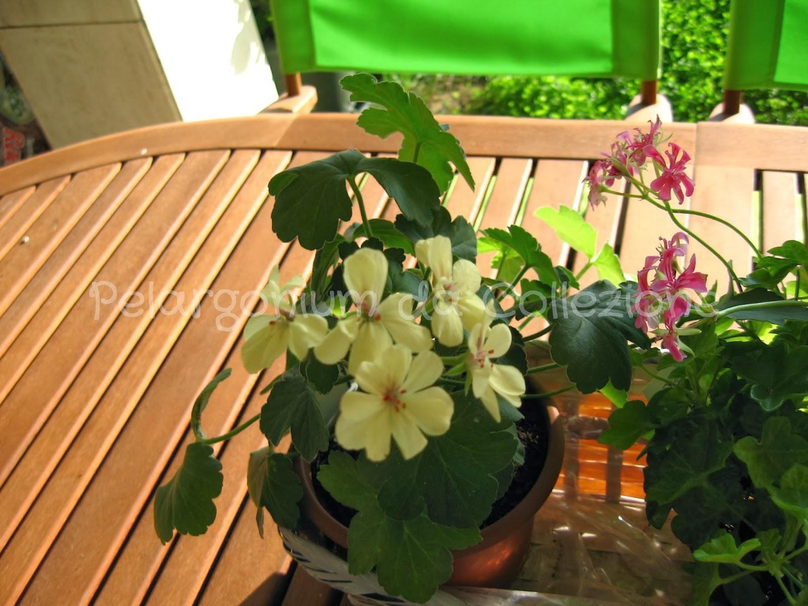 Pelargonium Da Collezione Gerani Gialli Yellow Pelargoniums