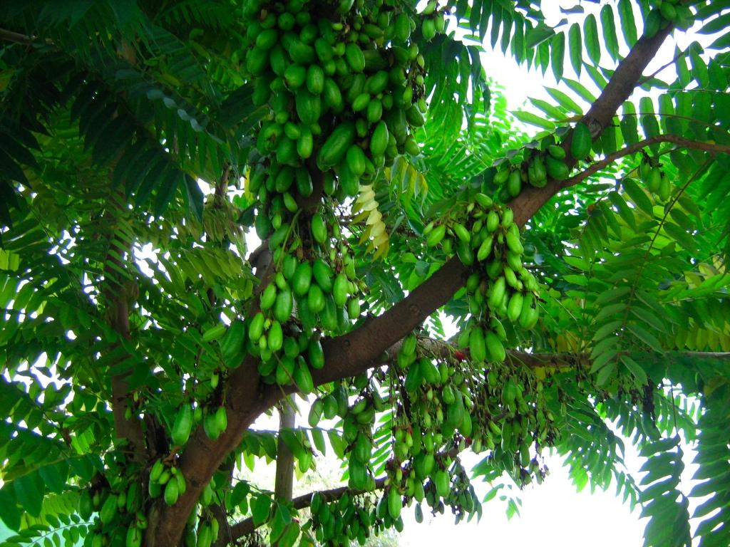 pohon belimbing