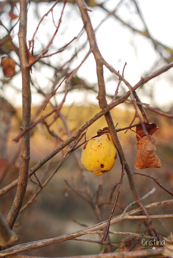membrillo solitario en el árbol