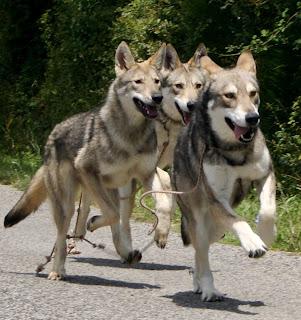 chiens loups de saarloos Canens Africae