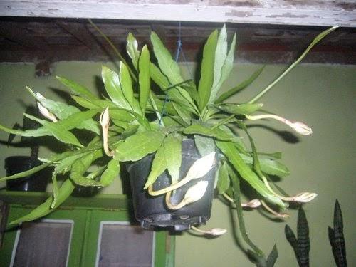 Jual pohon wijaya kusumah | tanaman hias | suplier tanaman | jasa desain taman