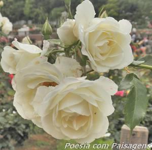 lindas rosas brancas