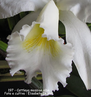 Cattleya mossiae  do blogdabeteorquideas
