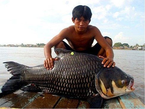 [Khám Phá] - Huyền thoại cá thầy chùa trên dòng Cửu Long 1