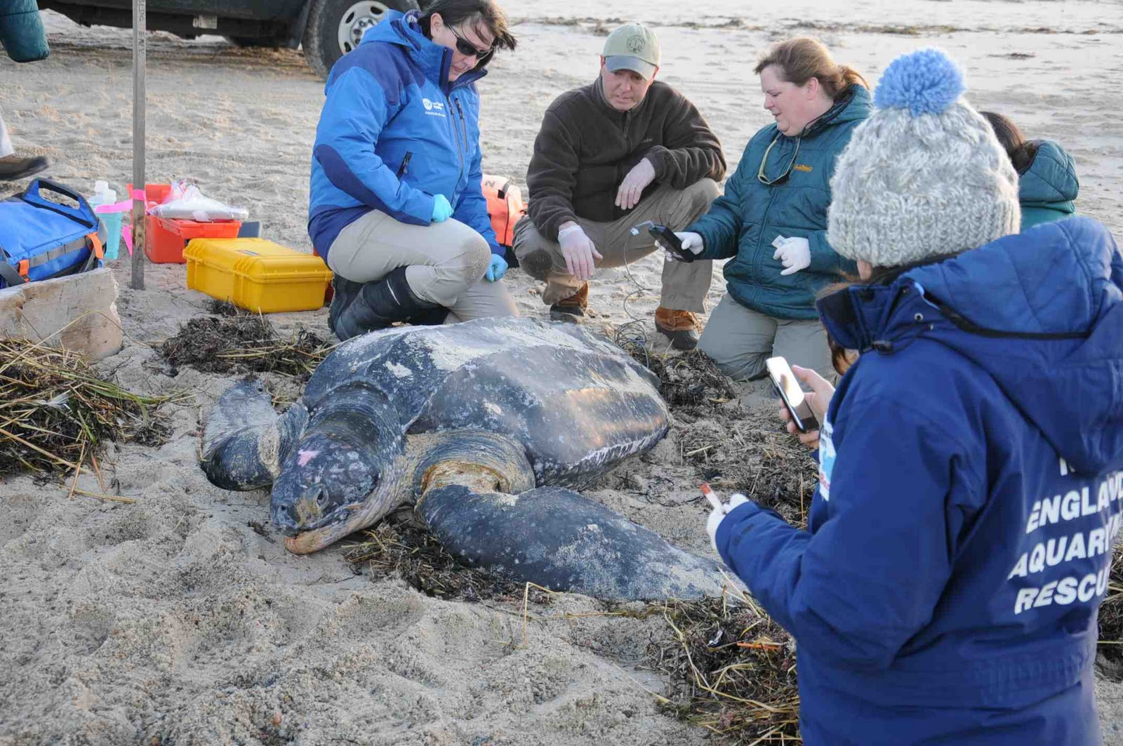 Cape Cod Animal Rescue Part - 24: Marine Animal Rescue Team Biologists Examine A Stranded Leatherback Turtle  On A Cape Cod Beach.
