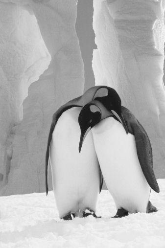 Pingüinos muy juntos