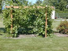 Grape Arbor