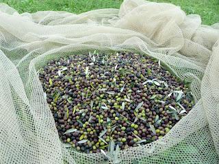 raccolta delle olive, reti, ulivi