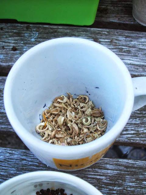 dried calendula seeds waiting to be planted