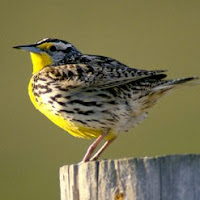 meadowlark - bird