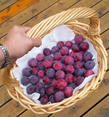 Modest Methley Japanese plum harvest.