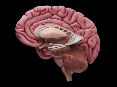 Aprender uma segunda língua é difícil? Pode ser culpa da anatomia do seu cérebro
