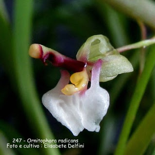 Ornitophora radicans do blogdabeteorquideas